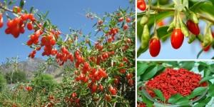 Годжи саженцы сортовые : New berry, Delicate (1-2-3х летние)