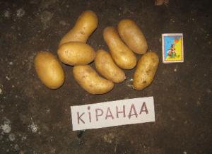 Картофель Киранда ранний (элита)