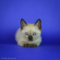 Котята Той-боб