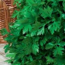 Петрушка листовая весовая