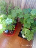 Продаються однорічні саджанці винограду таких сортів