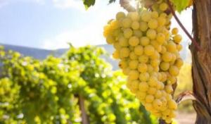Работа на виноградники Фрации