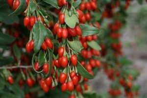 Годжи : New berry, New big berry, Delicate (1-2-3х летние саженцы)