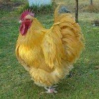 Инкубационные яйца мясо-яичной породы Орпингтон.