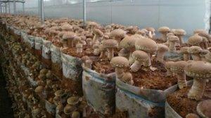 Продам сушеные грибы Шиитаке
