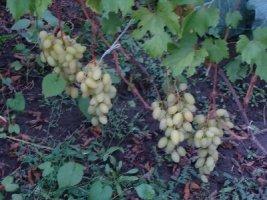 Продажа вегетирующих саженцев столовых сортов винограда