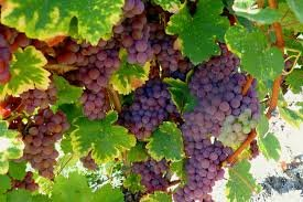 Рабочие на виноградники Франции